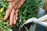 Alle Pflanzen im Kasten verteilen, dann die Erde um den Ballen herum jeweils andrücken. Zwischenräume mit Erde auffüllen und angießen.