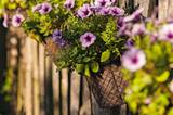 Der Zaun zum Nachbarn ist mit Drahtkörben voller Hängepetunien dekoriert