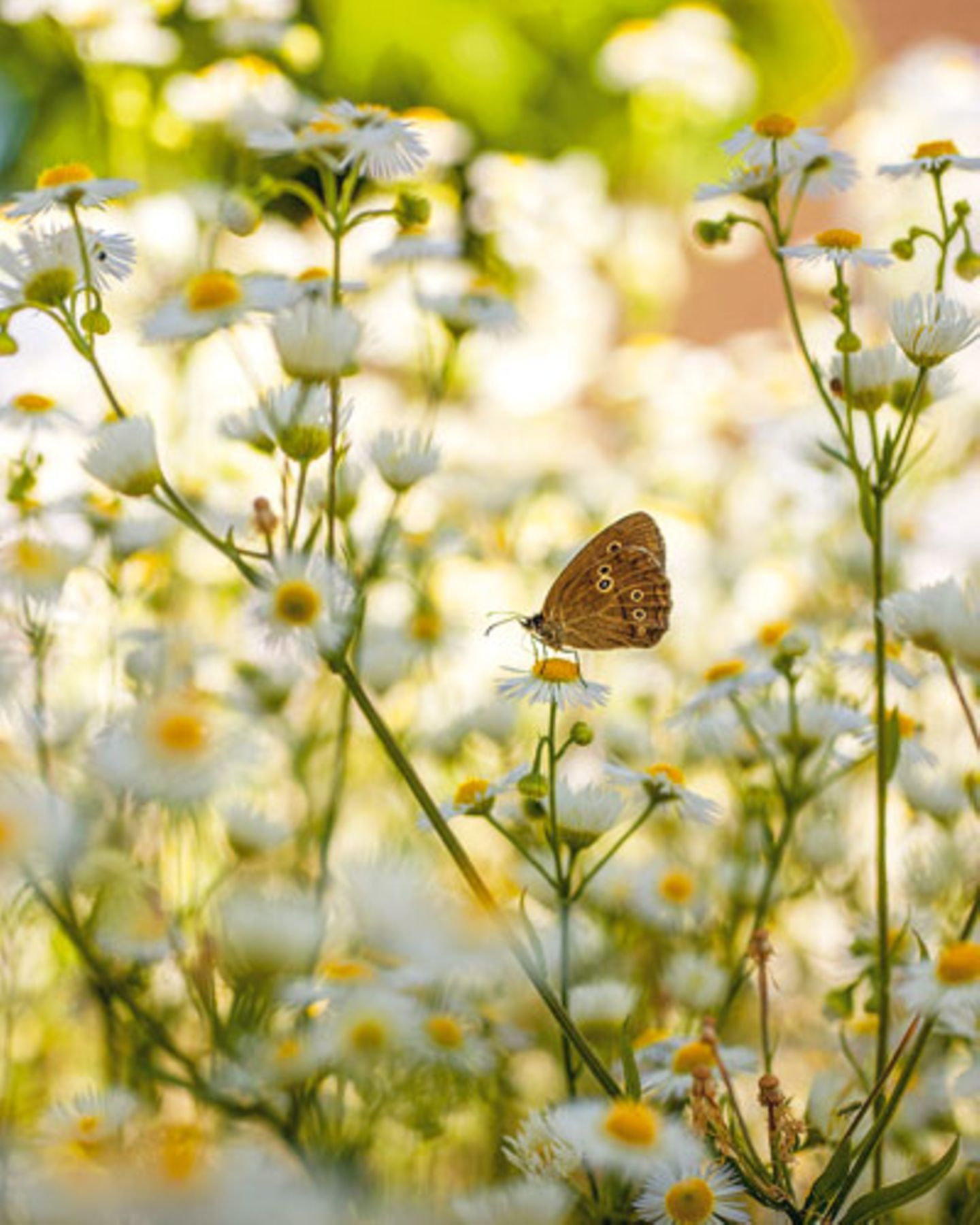 Auf der Blüte des Berufkrauts (Erigeron annuus) hat sich ein Bräunling niedergelassen - Insekten lieben diese auch wild wachsende Art der Feinstrahlaster