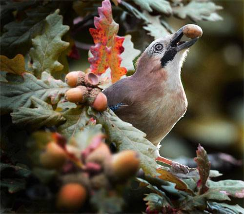 Jay taking Acorns