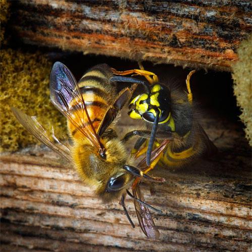 Honey Bee defending the Hive