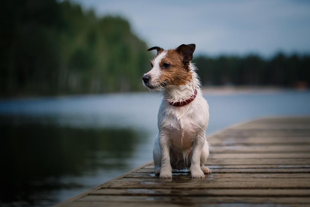 Jack Russell Terrier Hat Besonderes Geheimnis Brigittede