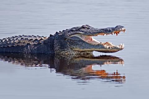 Tragödie bei Disney: Zweijähriger von Alligator getötet