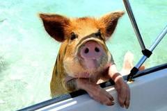 Wir wollen auch mit diesen Schweinen schwimmen!