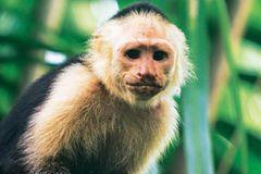 Affen überall! Der Kapuziner schaut uns beim Essen zu.