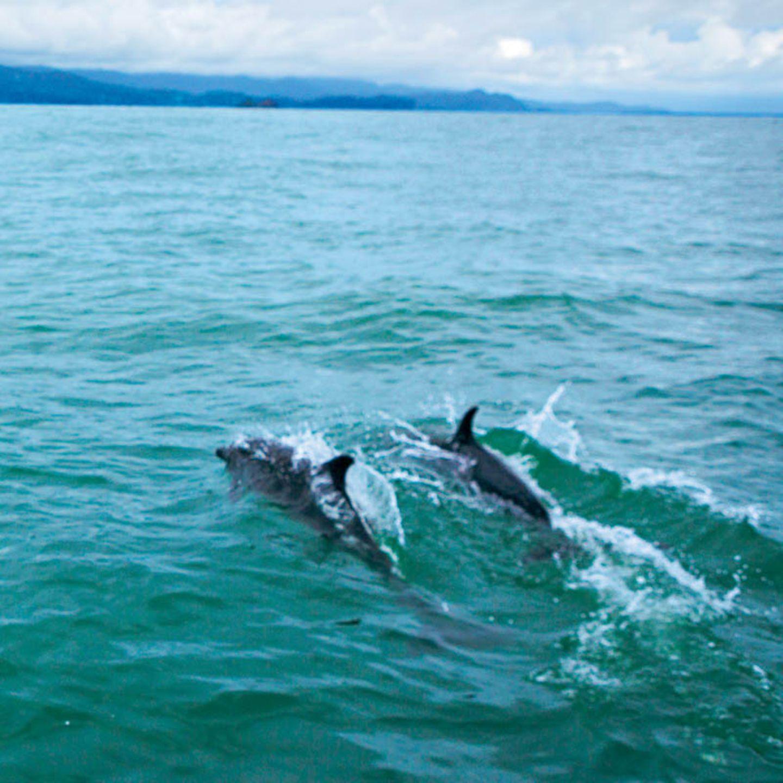 Delfine kann man ganzjährig im Pazifik sehen.
