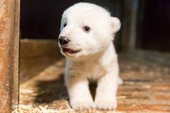 Trauer in Berlin: Eisbär-Baby Fritz ist tot!