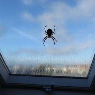 Spinnen loswerden: Spinne am Fenster