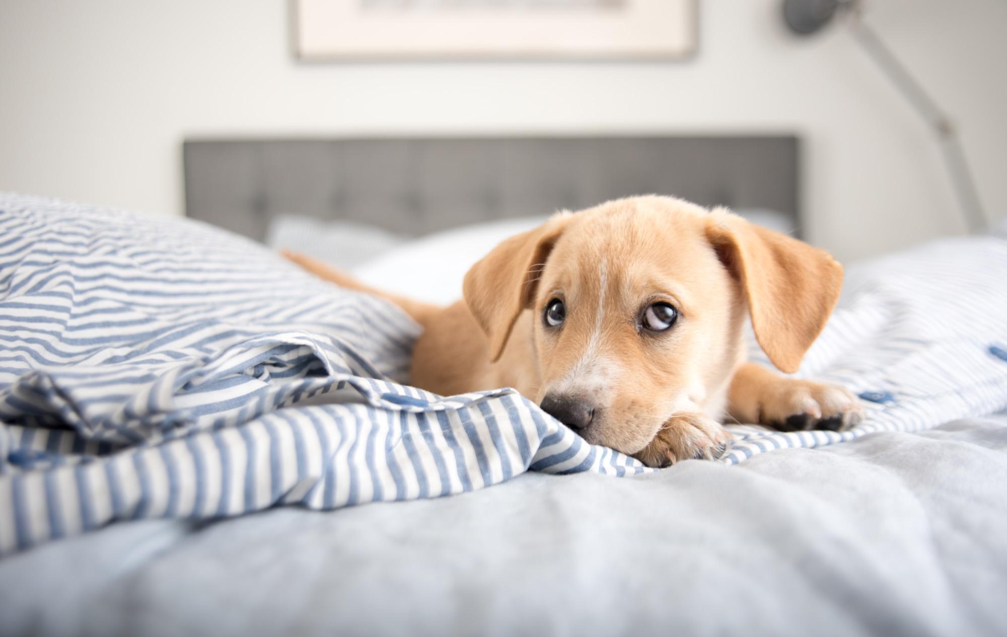 hund im bett macht gesund und gl cklich. Black Bedroom Furniture Sets. Home Design Ideas