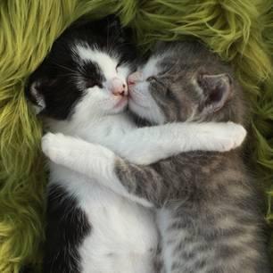 So zeigen Katzen Liebe: Katzenbabys kuscheln sich aneinander