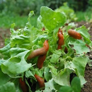 Schnecke, Garten, Salat, Nacktschnecken