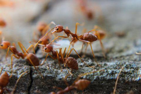 Ameisenplage
