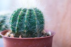 Ein ausgetrockneter Kaktus