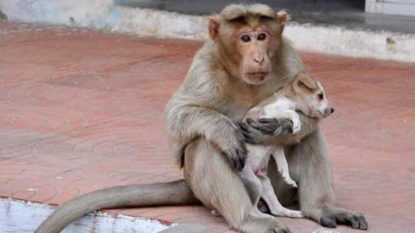 Einfach nur schön: Affen-Mama adoptiert Hundewelpen