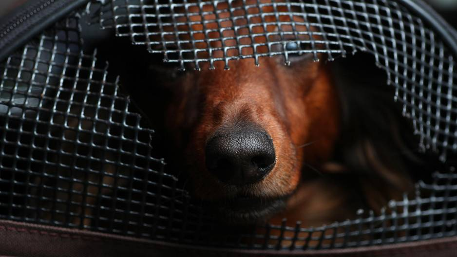 Hund schaut aus Tragekorb