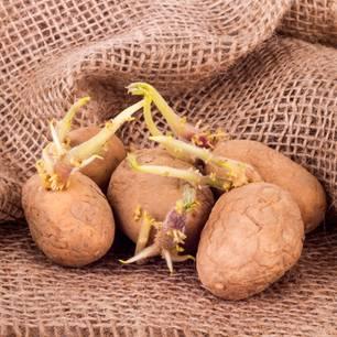 Keimende Kartoffeln