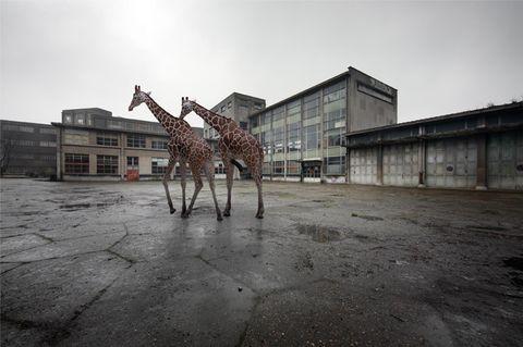 Niemandsland - Giraffen
