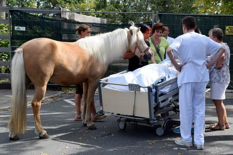 Letzter Wunsch - hier streichelt eine Sterbende ein letztes Mal ihr Pflegepferd