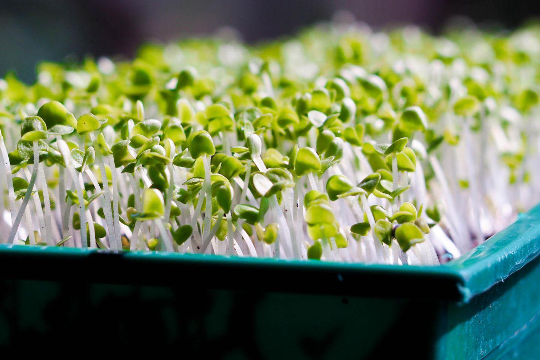 Microgreens könnt ihr ganz einfach zu Hause züchten und genießen