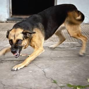 Tollwut: Ein aggressiver Hund fletscht die Zähne.