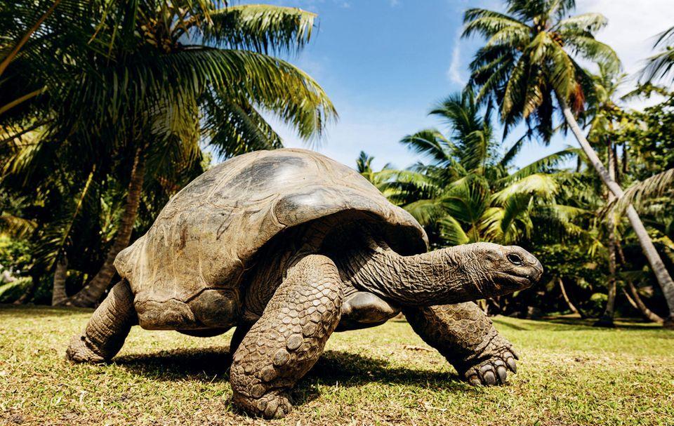 Spaziergang unter Palmen: eine Riesenschildkröte auf der Insel Grande Sœur