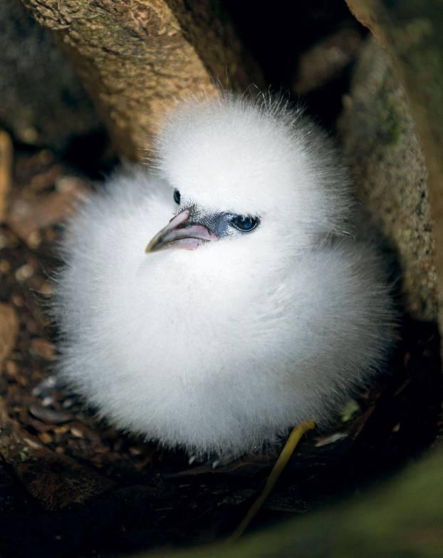 Einem Weißschwanz-Tropikvogelküken sollte man einem spontanen Streichelimpuls besser nicht nachgeben