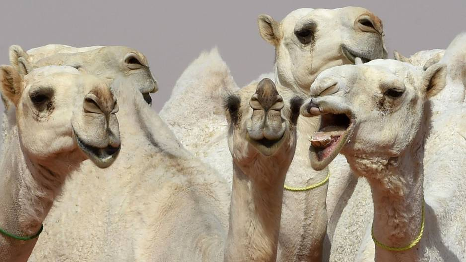 Kamele beim King Abdulaziz Festival in Saudi-Arabien
