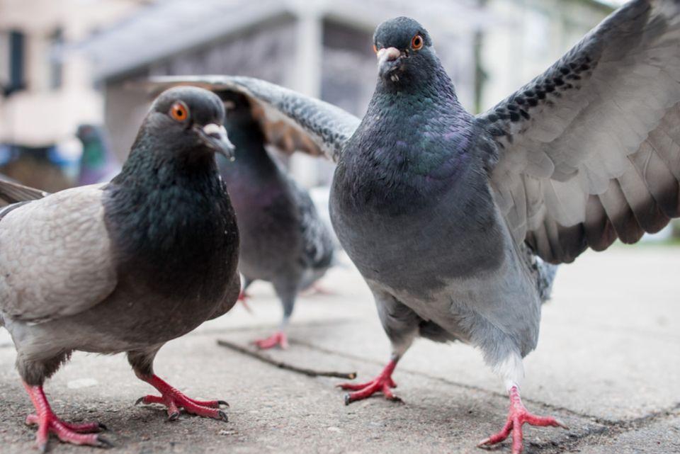 Tauben-Küken: Strenger Vogel-Blick in die Kamera