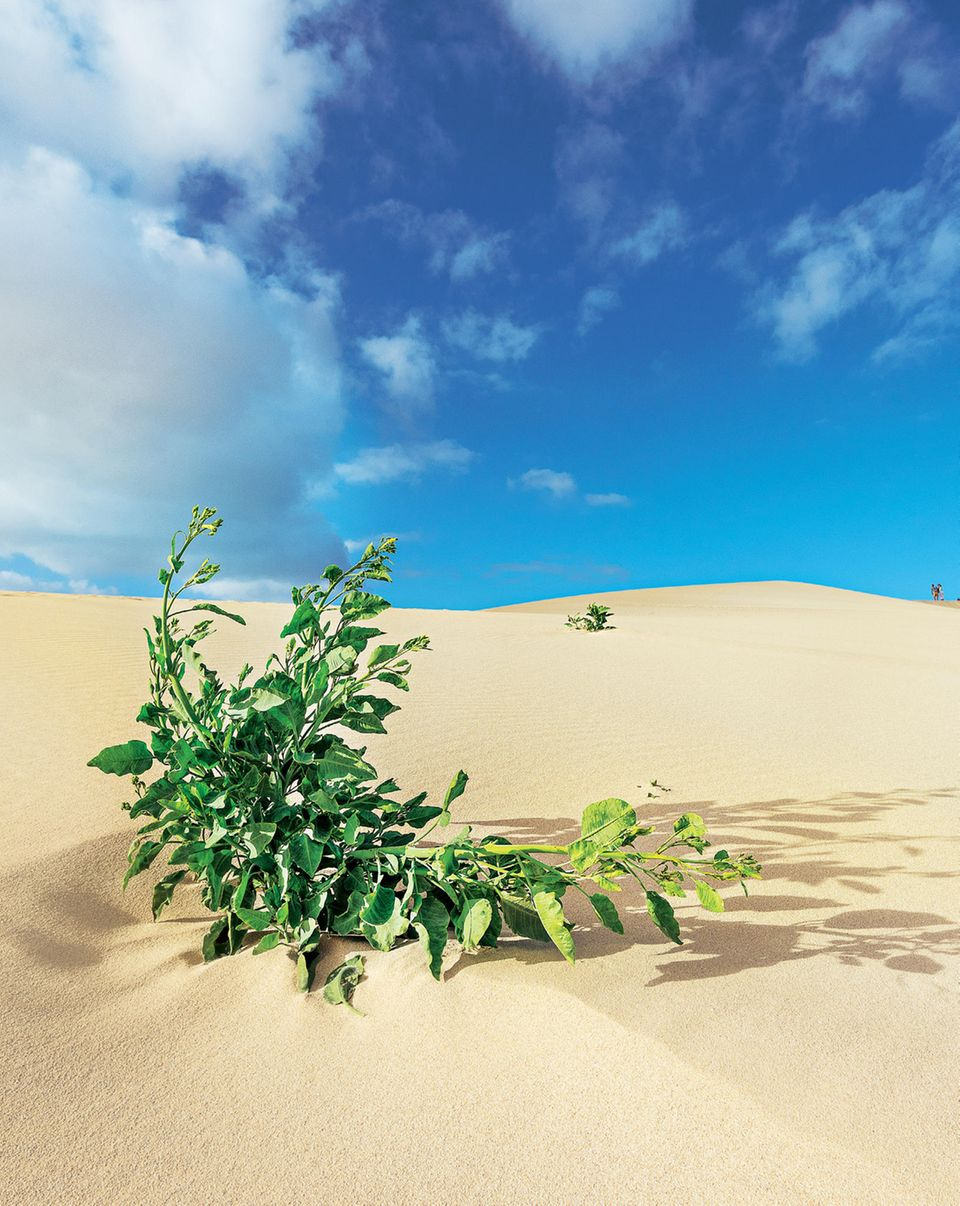 Fuerteventura: Wanderdünen bei El Jable