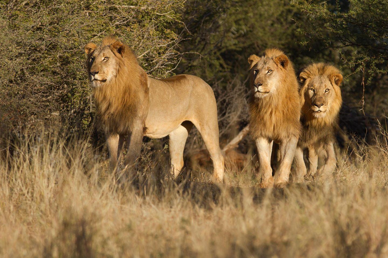Wilderer in Reservat von Löwen zerfleischt