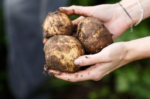 Kartoffeldiät: Frau hält drei frische geerntete Kartoffeln in beiden Händen