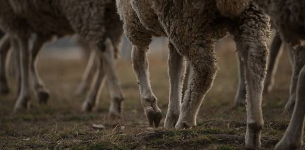 Mischung aus Mensch und Schaf: Schafe auf der Weide