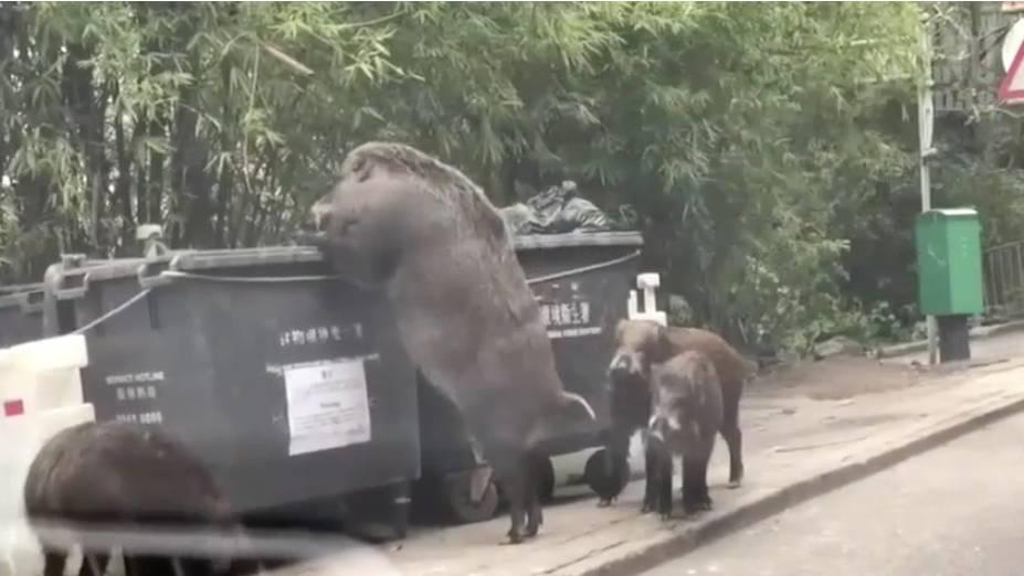 Riesen-Wildschwein vor Grundschule aufgetaucht