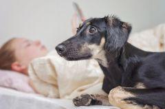Saluki Greyhound rettet Frauchen vor Selbstmord: Ein Hund der Rasse Saluki