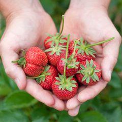 Erdbeeren pflanzen: Erdbeeren aus dem Garten