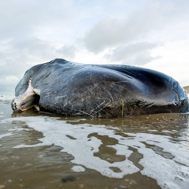 Toter Wal Mit 30 Kilo Plastikmüll Im Bauch Gestrandet Brigittede