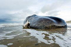 Toter Wal angeschwemmt - mit 30 Kilo Plastikmüll im Bauch!
