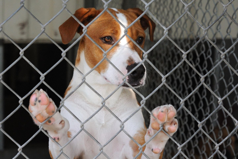 Kampfhund-Debatte: Hund hinter Maschendrahtzaun (Symbolfoto)