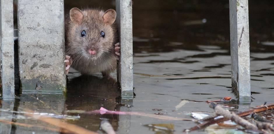 Bei Anruf Mord - Der Rattenfänger von Hamburg
