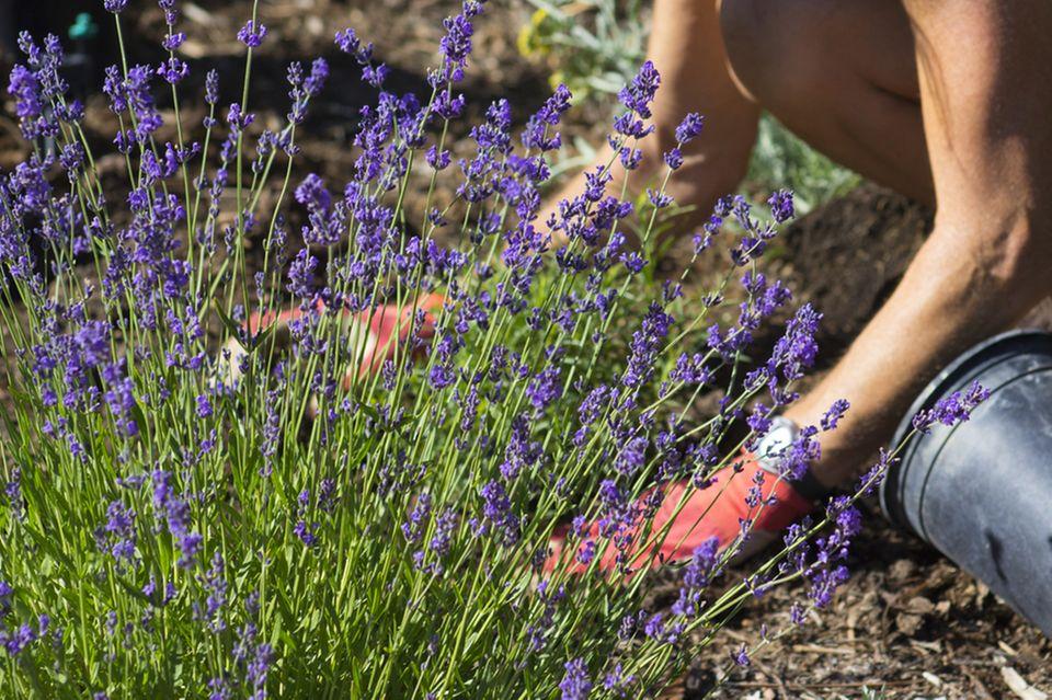 Lavendel pflanzen: Frau pflanz Lavendel im Garten