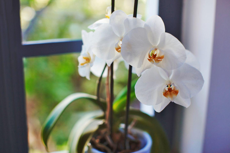 Orchideen Pflege: Pflanze am Fenster