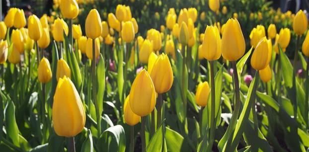 Tulpen pflanzen: Gelbe Tulpen im Garten