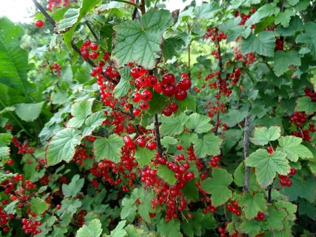 Johannisbeeren schneiden: Die besten Tipps bei roten Beeren