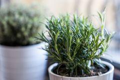 Rosmarin pflanzen: Rosmarin im Topf