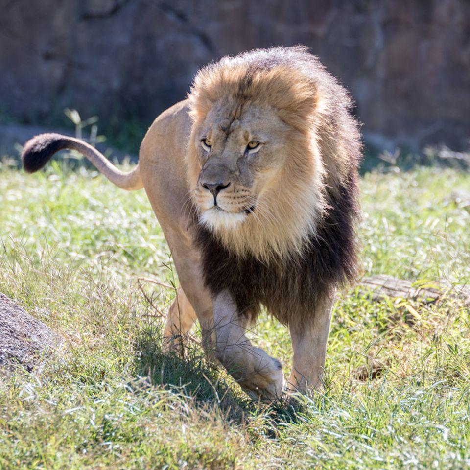 Löwen und Tiger aus Zoo ausgebrochen? Es war falscher Alarm!