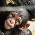 Schimpansenbaby