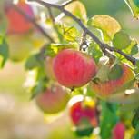 Apfelbaum pflanzen: Rote Äpfel am Baum