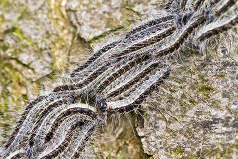 Eichenprozessionsspinner - das kannst du gegen das gefährliche Insekt tun