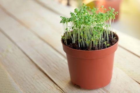 Kresse pflanzen: Kresse im Topf