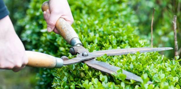 Hecke schneiden: Hecke mit Gartenschere schneiden